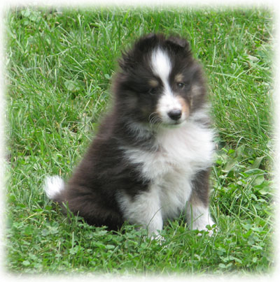 Shetland Sheepdog Puppies on Puppies   Summerwood Shelties   Shetland Sheepdog Puppies In